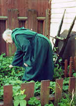 Photo: of Monk Bob, wheelbarrow, and our monastery's strawberry garden.  Photo Copyright 2000 S.G.P.  All Rights Reserved.